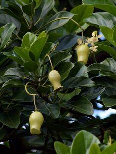 Hernandia moerenhoutiana subsp. campanulata - 'Mountain La… | Flickr - Photo Sharing!