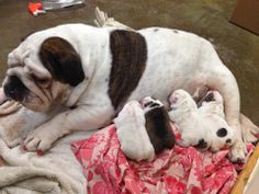 "❤ Layla with her 4 new pups ! BTW Layla had per ""nails"" done before the pups came. Lady Pink ❤"