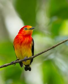 Uirapuru-laranja, Guaramiranga, Dançador-laranja, Tangará de cabeça-amarela ou Uirapuru de cauda curta (Pipra fasciicauda)