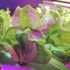 Are you eating your greens? We are!!! #aquaponic #lettuce #growing in our #raftaquaponics #system #beautiful #organic #hydroponics #aquaculture #aquaponic #photooftheday #beautiful  #food #foodie #cool