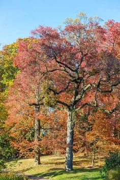 In place of red maple, which has red foliage only in autumn, consider this tree, whose new spring growth emerges scarlet before turning dark...
