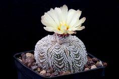 astrophytum asterias cv. super kabuto v-type