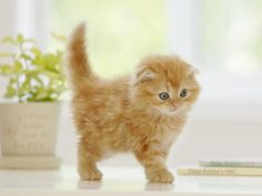 The Scottish Fold: This feline is known for its folded ears that bend forward and down toward the cat's head. Some say the lop ears give this breed an owl-like look. I Love Cats, Crazy Cats, Cute Cats, Kittens Cutest, Cats And Kittens, Baby Animals, Cute Animals, Scottish Fold Kittens, Curious Cat