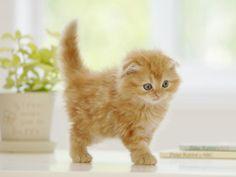 orange scottish fold kitten...you need this little guy @Jennifer Eddy
