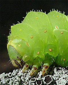 caterpillar of a Luna Moth