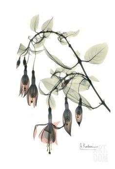 Fuchsia in Color • Albert Koetsier