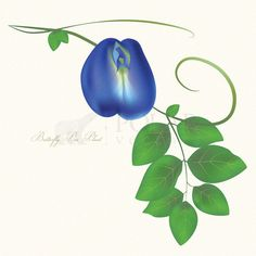 Butterfly+pea+plant+with+flower
