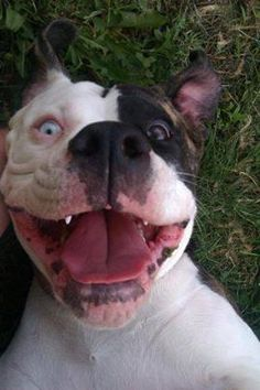 Pitbulls Lovers's photo: Smile  Nothing better than a pitbulls smile :)