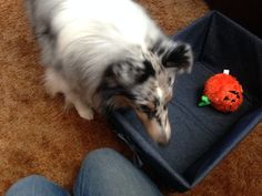 Train your dog to clean up His toys Pet Accessories, Dog Toys, Cat Toys, Pet Tricks