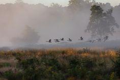 "nubbsgalore: "" photos by szymon bakota of an autumn dawn in london's richmond park "" Richmond Park, Spirit World, Big Bird, Walking In Nature, Autumn Home, House In The Woods, Animal Photography, Animals Beautiful, The Life"