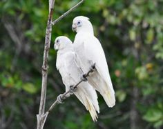 Northern Territories birdlife - Little corella (aka Blue-eyed cockatoo) - Cacatua sanguinea