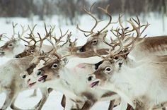 reindeer in finnmark, norway
