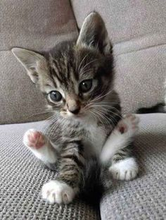 Happy Cat – April 2019 – We Love Cats and Kittens What a cutie patootie ! Related Munchkin Cat Pictures -Cutest Baby Animals : Pictures of Kittens, Dogs,. Kittens And Puppies, Cute Cats And Kittens, Kittens Cutest, Fluffy Kittens, Small Kittens, Pretty Cats, Beautiful Cats, Animals Beautiful, Cute Baby Animals