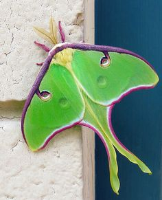 Luna Moth - North America <3 HOLY FUCKING BALLSACK! This thing looks like an amazing technicolor rave plane. <3