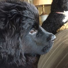 Newfie profile! Cutest thing ever.