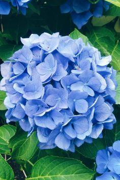 Hydrangea Garden, Hydrangea Flower, Flowers Perennials, Planting Flowers, Pretty Flowers, Blue Flowers, Image Swag, Types Of Hydrangeas, Flower Aesthetic