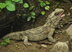Tuatara (reptile) | tuatara iconic and endangered new zealand reptile shows that chewing ...