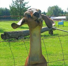 Goats: more human than is comfortable