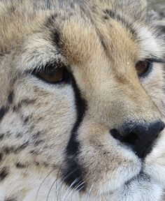 cheetah eyes full of trust and love Conservation, Cheetah, Trust, Lion, Eyes, Animals, Leo, Animales, Animaux