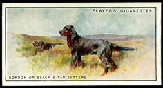 """Dogs Scenic #30  Player's Cigarettes """"Dogs, Scenic Background"""" (series of 50 issued in 1925)  #30 Gordon or Black & Tan Setters"""