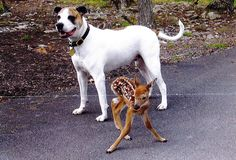 Willow, a true #BilJacDog, rescued a newborn fawn! Visit our #Dog Blog to read the full story.