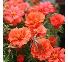 Portulaca Orange175