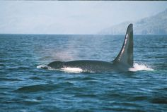 Big male Orca by our boat. Telegraph Cove, British Columbia