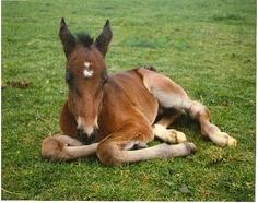 standardbred foal 1 by kiwihorseman, via Flickr