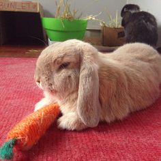 Step away from the carrot and no one gets hurt #grumpybunny #minilop #instabunny #bunny #rabbit #bunniesofig #houserabbitsociety