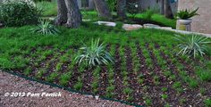 Still waiting for the Berkeley sedge lawn to fill in, but it's getting there. | Digging