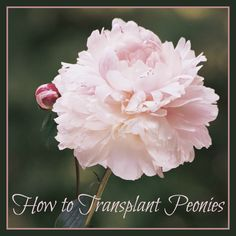 How to Transplant Peonies | For seed giveaways, daily tips and plant info, come join us on facebook! https://www.facebook.com/thegardengeeks