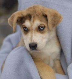 A Great Dane, Husky mix she is a beautiful angel.