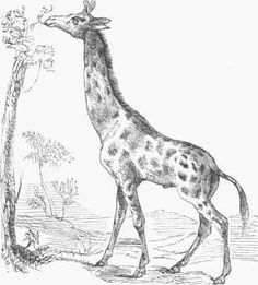 The great attraction – the queen of the Garden of plants at Paris – - is the giraffe, to whom I paid frequent visits.    She is the only survivor of the three which left Africa much about the same time, and inhabits the large round building in the centre of the menagerie called the Rotonde.