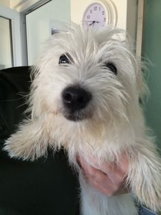 Bonnie the baby westie, so cute!