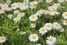 Gänseblümchen  #Blume #Mai #Rasen