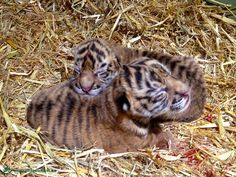 With less than 500 Sumatran tigers left in the wild, the recent birth of our cubs is a significant win for the future of the species. Mum and cubs are currently LIVE on Cub Cam, watch now! http://www.australiazoo.com.au  #tiger #cub #tigercam #cubcam #wildlife #conservation #sumatrantiger