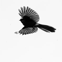 fantail flying silhouette - Google Search