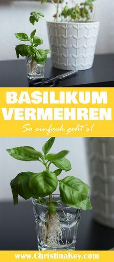 Basilikum vermehren - So einfach geht es! // Blumen / Triebe / Blätter / Grün / Gartenkräuter / Gräuter / Fresh / Food / Vermehren / DIY / Stecklinge / Ableger / Pflanzen / Garten / Balkon / Birke / Holz / Crafting / Crafts / Selber machen / Tipps / Tricks / Basilikum / Garden / Plants / Idea / Inspiration / Green / Salat / Salad / Recipe / Home Gardening / Simple / Hacks / Great / Berlin / Christina Key