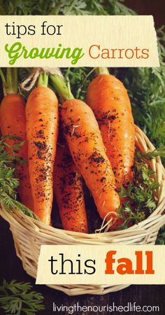 Tips for growing carrots this fall