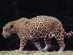 jaguar jaguar jaguar