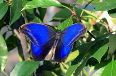 Super colors in Bordano greenhouses (Eryphanis Automedon)