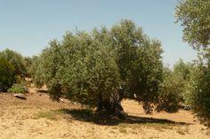Nuestros olivos, con el mejor Aceite de Oliva de Jaén.