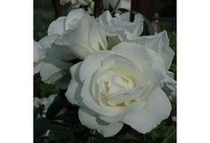 Ruusu Schneewittchen 3 Kpl/Pkt - Prisma verkkokauppa