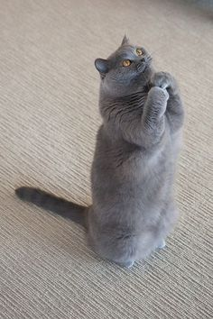 64 Ideas for cats grey british shorthair gray kitten Animals And Pets, Baby Animals, Funny Animals, Cute Animals, Funny Cats, Grey Cats, Blue Cats, Gray Kitten, Beautiful Cats