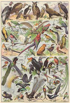 """double planche ancienne des  oiseaux de paradis oiseaux mouches /""""recto verso /"""" Q"""