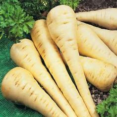 parsnip eve levy says u must add it to soup San Diego Master Gardeners - Vegetable Planting Guide - Parsnip