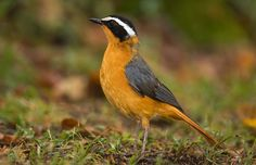 Cossypha heuglini - White-browed Robin-chat -- Sighted: 6/1/2015 Lions Sands Private Game Reserve