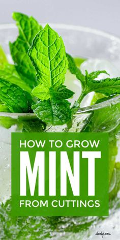 Learn how to grow mint from cuttings indoors and outdoors. Growing mint including spearmint in water in pots, containers and mason jars is the best way to start new mint plants. Use these tips to grow flourishing mint plants inside and in the garden. Plants In Jars, Mint Plants, Water Plants, Growing Mint, Growing Herbs, Growing Vegetables, Gardening For Beginners, Gardening Tips, Sustainable Gardening