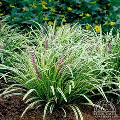silvery sun variegated liriope | Liriope muscari 'Silvery Sunproof'