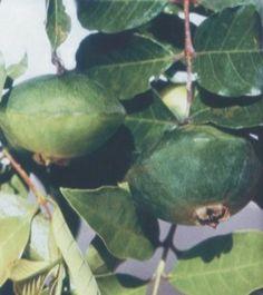 O Cambuci dá em Paranapiacaba, no meio da Mata Atlântica, é um fruto que nunca se acaba e serve de estudo par